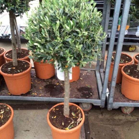 olive_trees_3